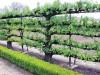 Фото: Лекция «Привитые формы в дизайне сада» с Павловым Игорем.