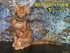 Фото: Брутальный котенок мейн кун Ярослав
